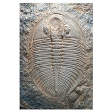 Trilobite fossil Canvas Art